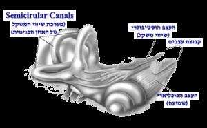 אוזן פנימית